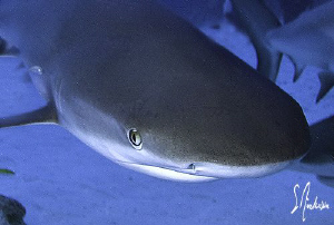 This image of a Reef Shark was taken during a Shark Dive ... by Steven Anderson 